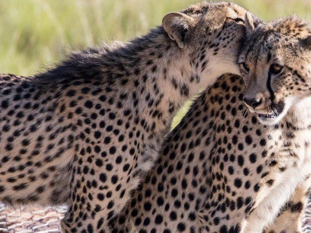 Животное гепард