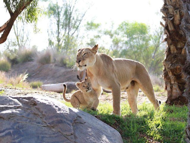 С семьей львов
