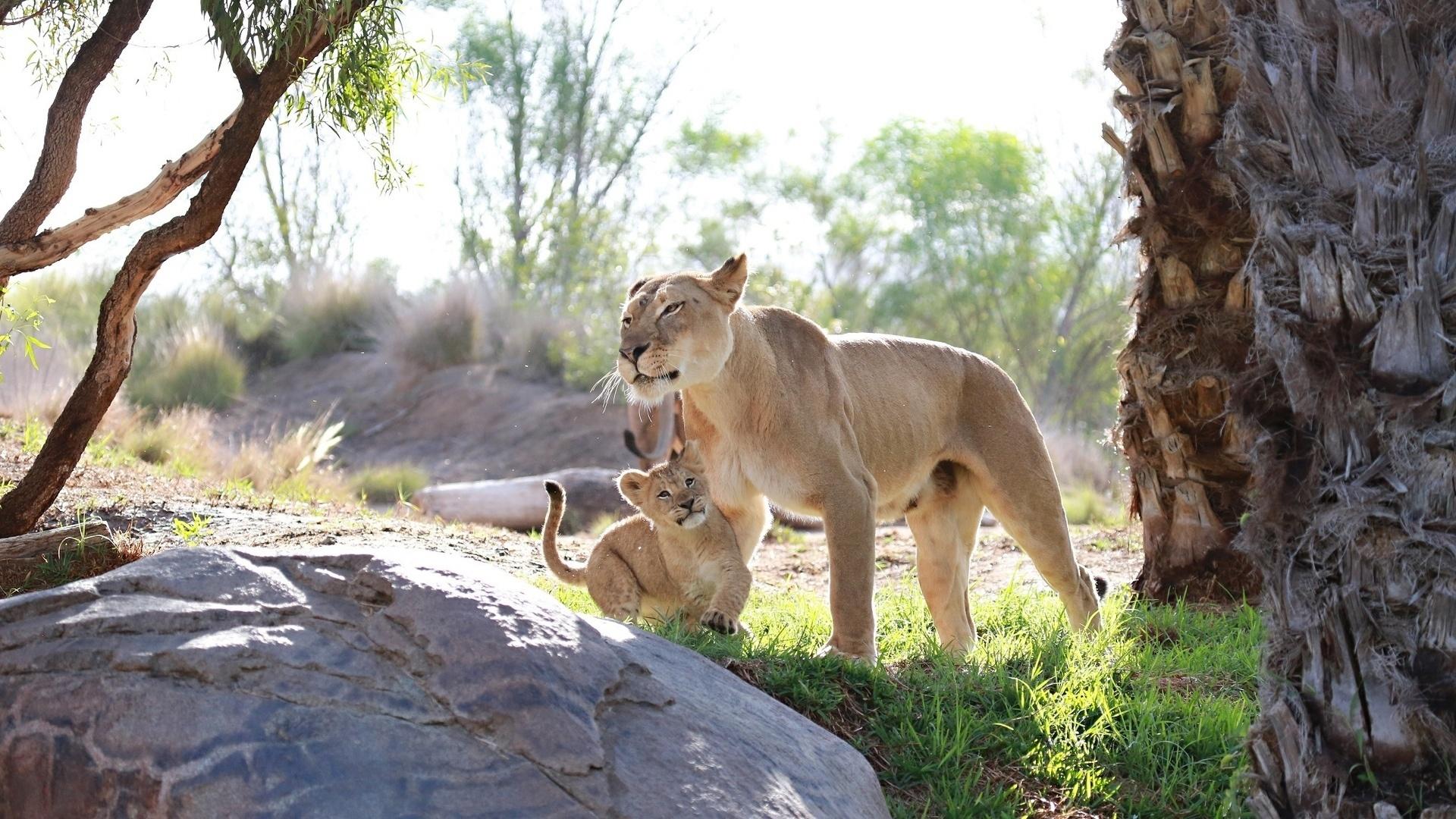 С семьей львов обои скачать