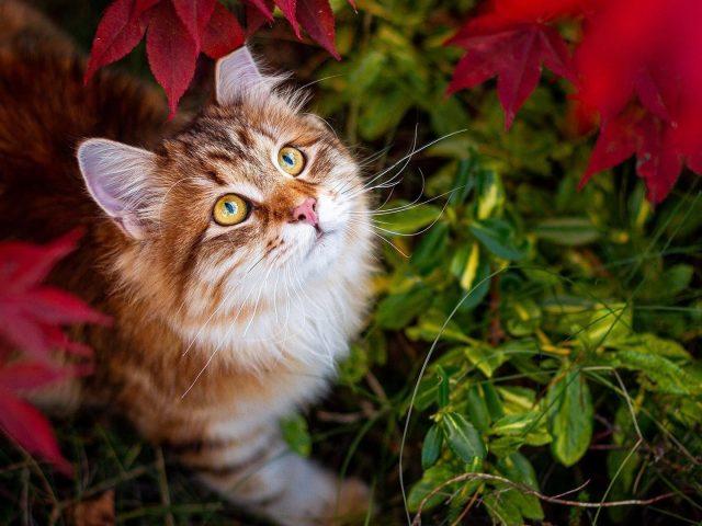 Желтые глаза коричнево-белая кошка смотрит вверх, кошка