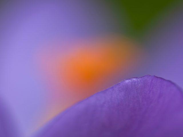 Фиолетовый Крокус макро