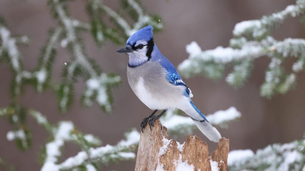 Голубая белая птица сойка стоит на заснеженном стволе дерева птицы обои скачать