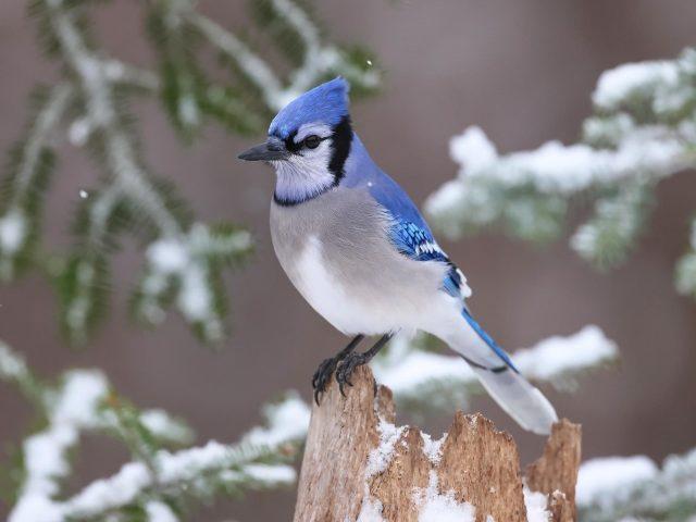 Голубая белая птица сойка стоит на заснеженном стволе дерева птицы