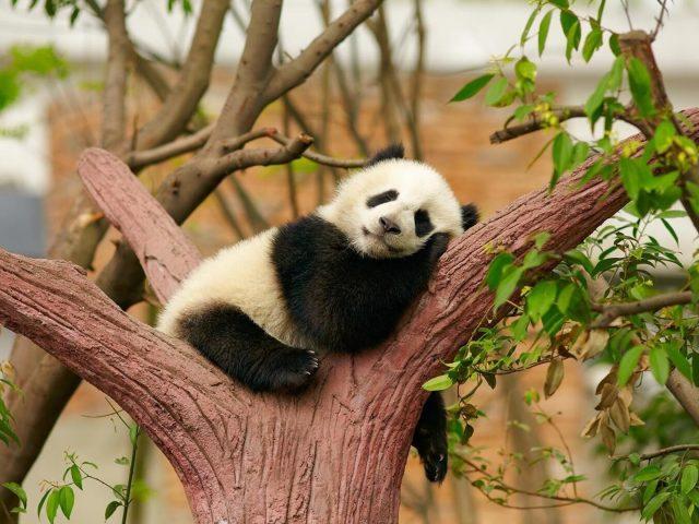 Черно-белая малышка панда сидит и спит на стволе дерева в размытом фоне панда