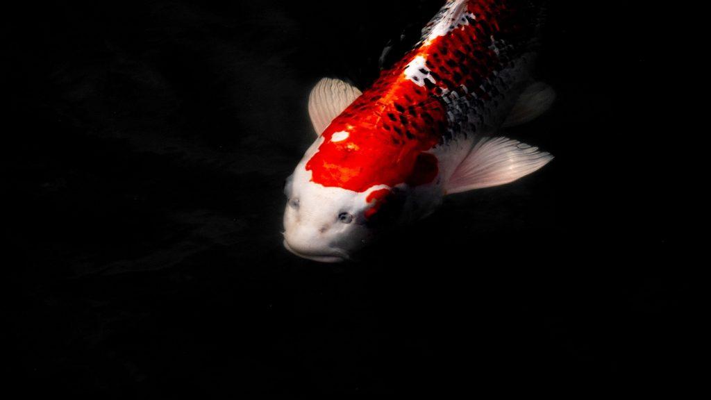 Красная белая золотая рыбка на черном фоне рыбы обои скачать