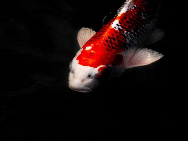Красная белая золотая рыбка на черном фоне рыбы