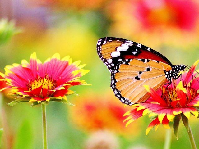 Черная желтая бабочка сидит на розовом желтом цветке на фоне синих цветов бабочка