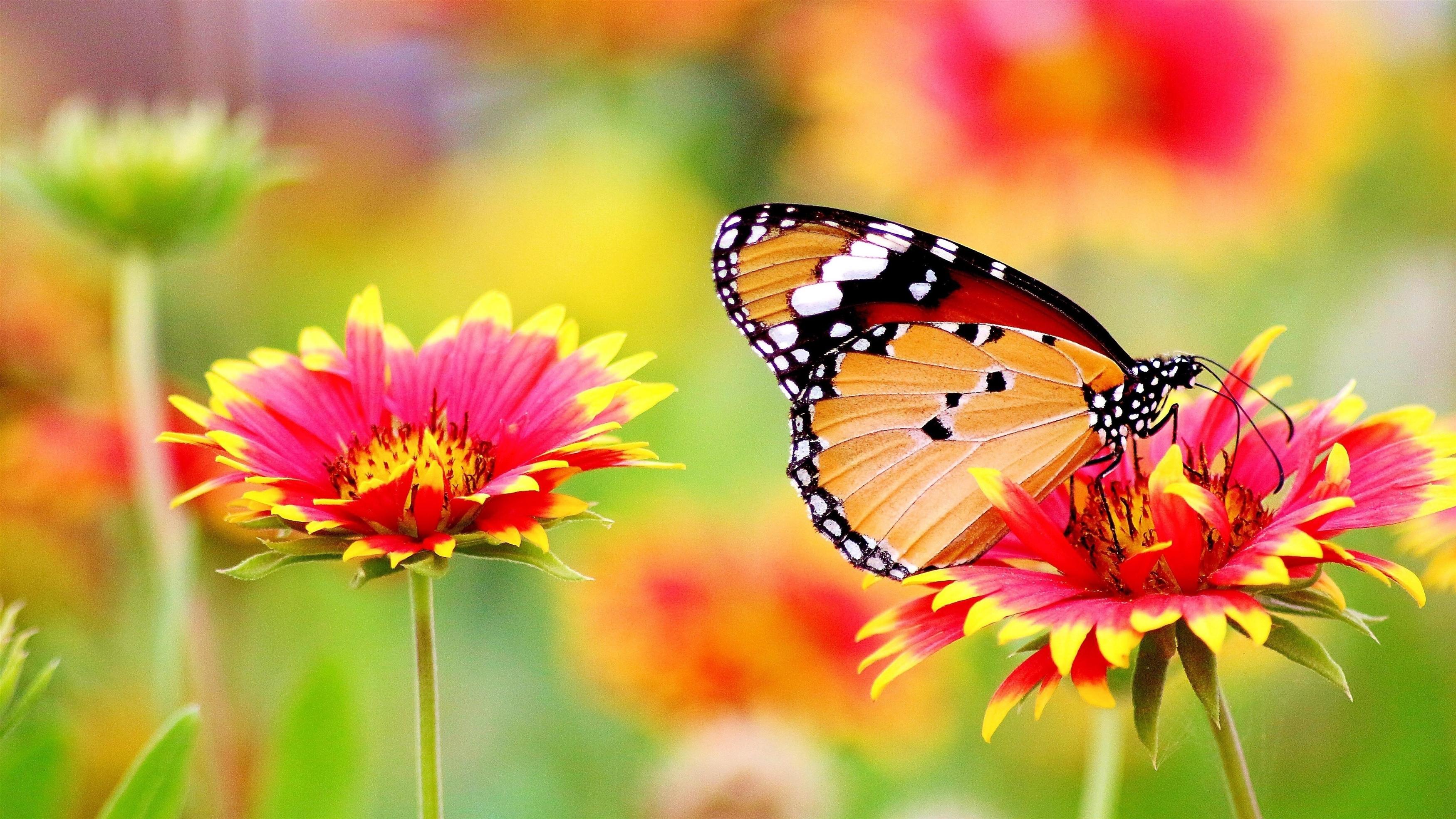 Черная желтая бабочка сидит на розовом желтом цветке на фоне синих цветов бабочка обои скачать