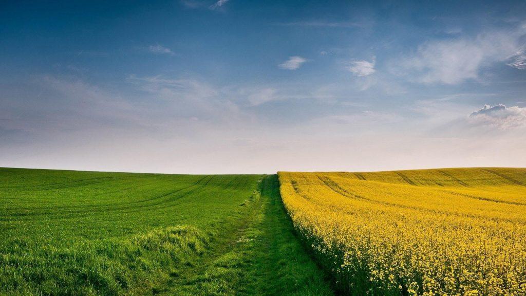 Красивые желтые цветы поле и зеленая трава поле под пасмурным голубым небом природа обои скачать