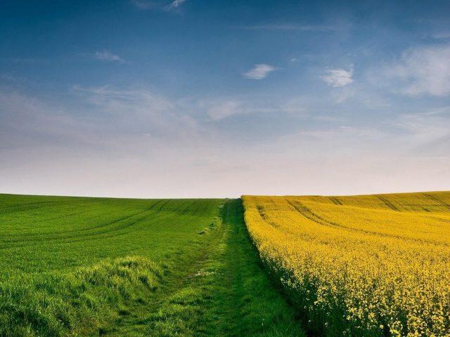 Красивые желтые цветы поле и зеленая трава поле под пасмурным голубым небом природа