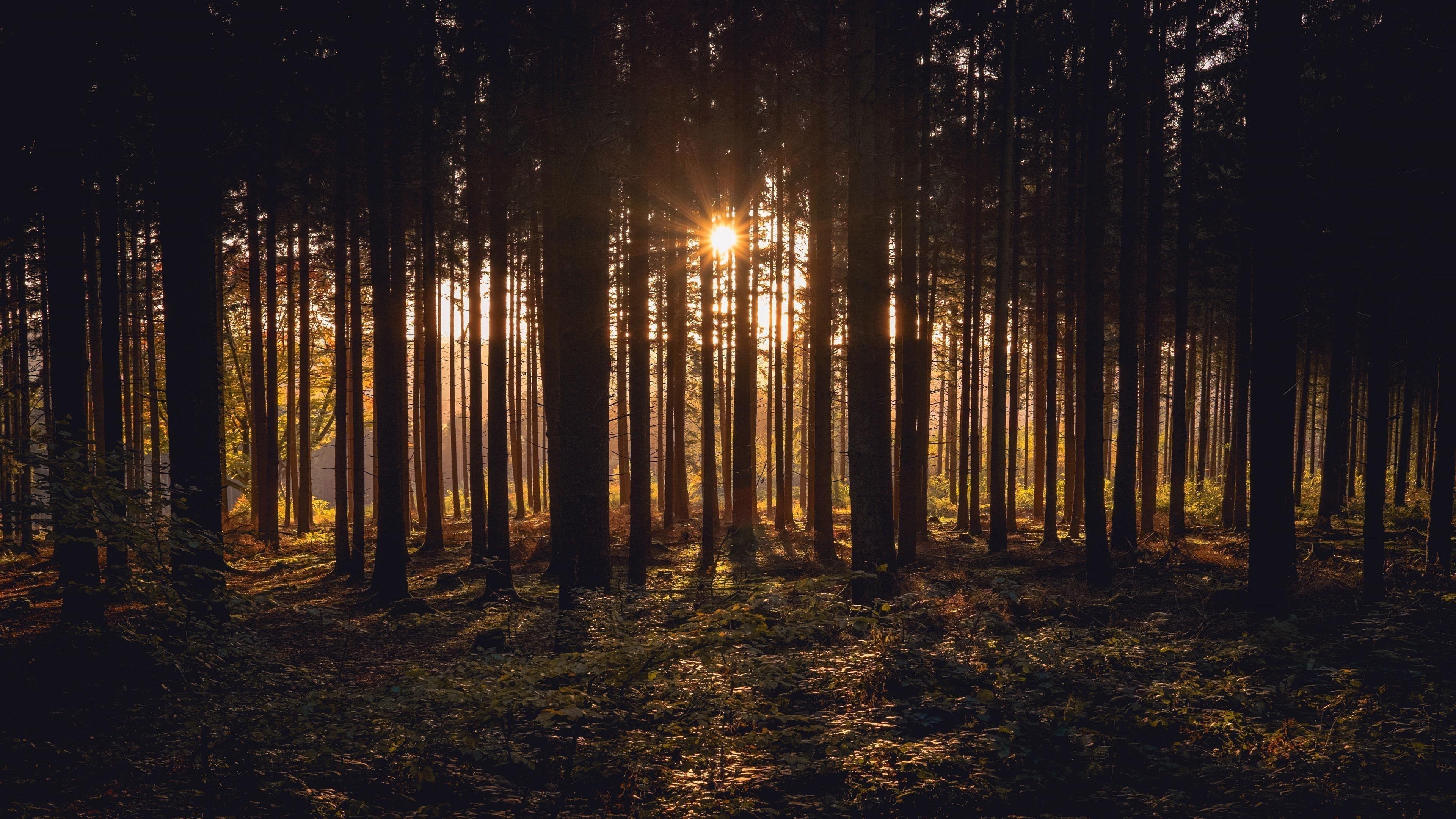 Солнечный свет, проходящий через темные деревья в лесу во время заката солнца природа обои скачать