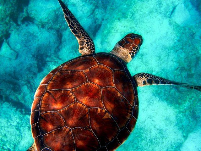 Коричневая и белая черепаха на чистой голубой воде