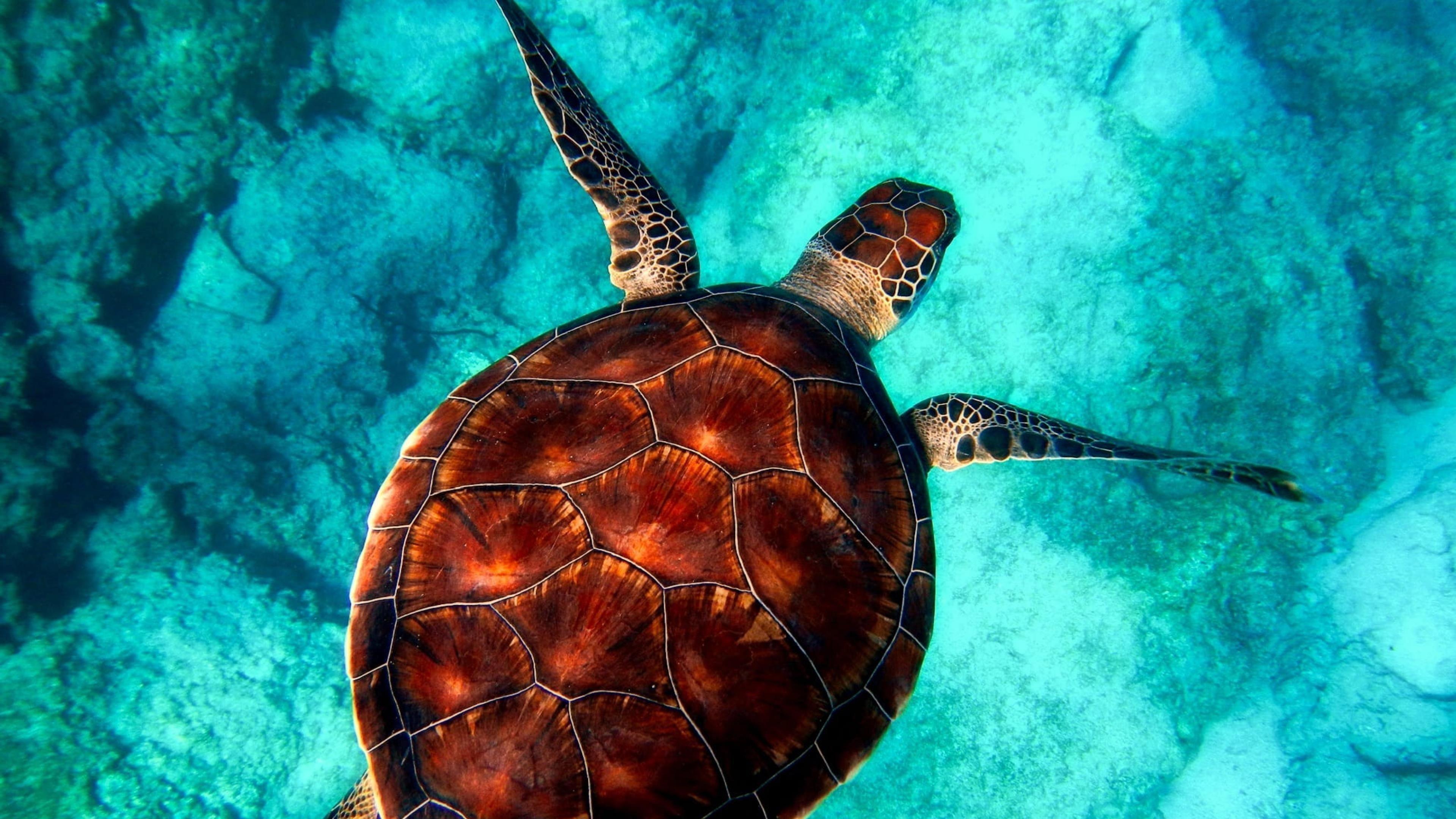 Коричневая и белая черепаха на чистой голубой воде обои скачать
