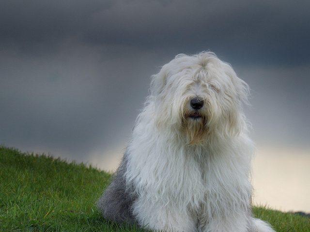 Волосатая собака трава облака