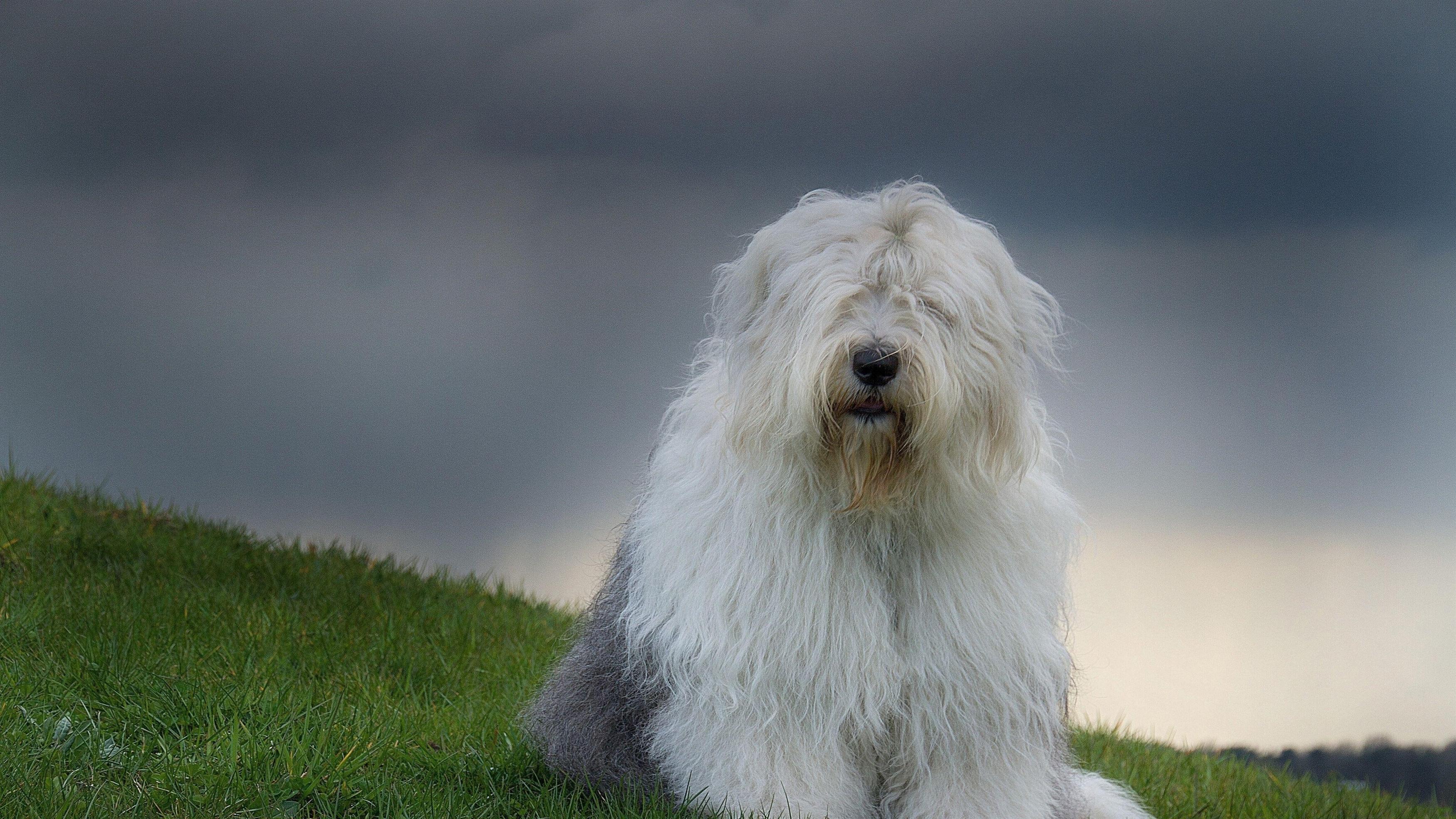 Волосатая собака трава облака обои скачать