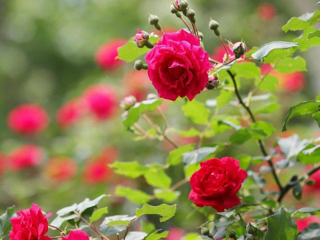 Куст красной розы с листьями цветками