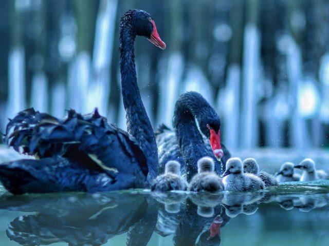 Черный лебедь с детенышем лебедя на воде с отражением животных