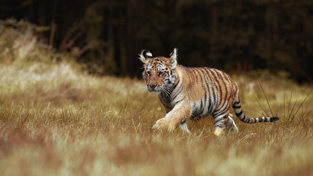 Тигр идет между сухой зеленой травой тигр обои скачать