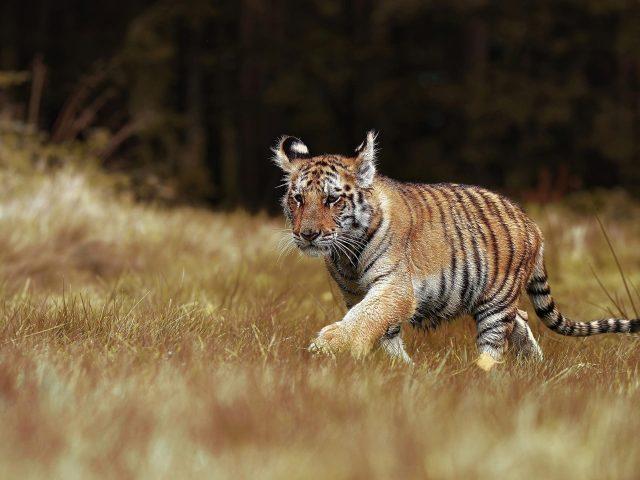Тигр идет между сухой зеленой травой тигр