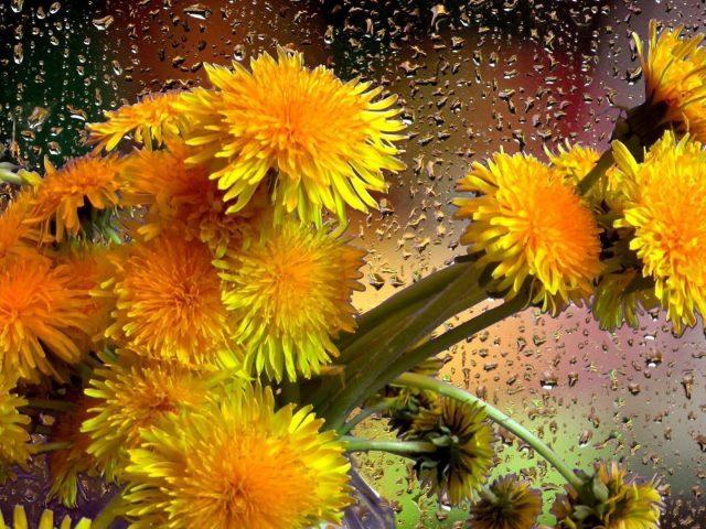 Букет одуванчик желтый цветок с каплями дождя цветы