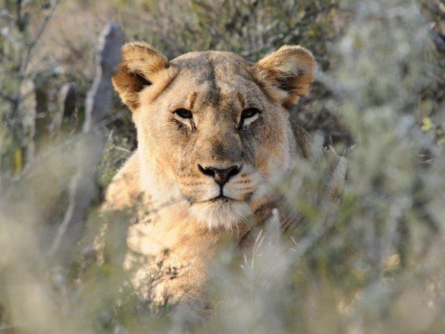 Животное Лев 1 животные