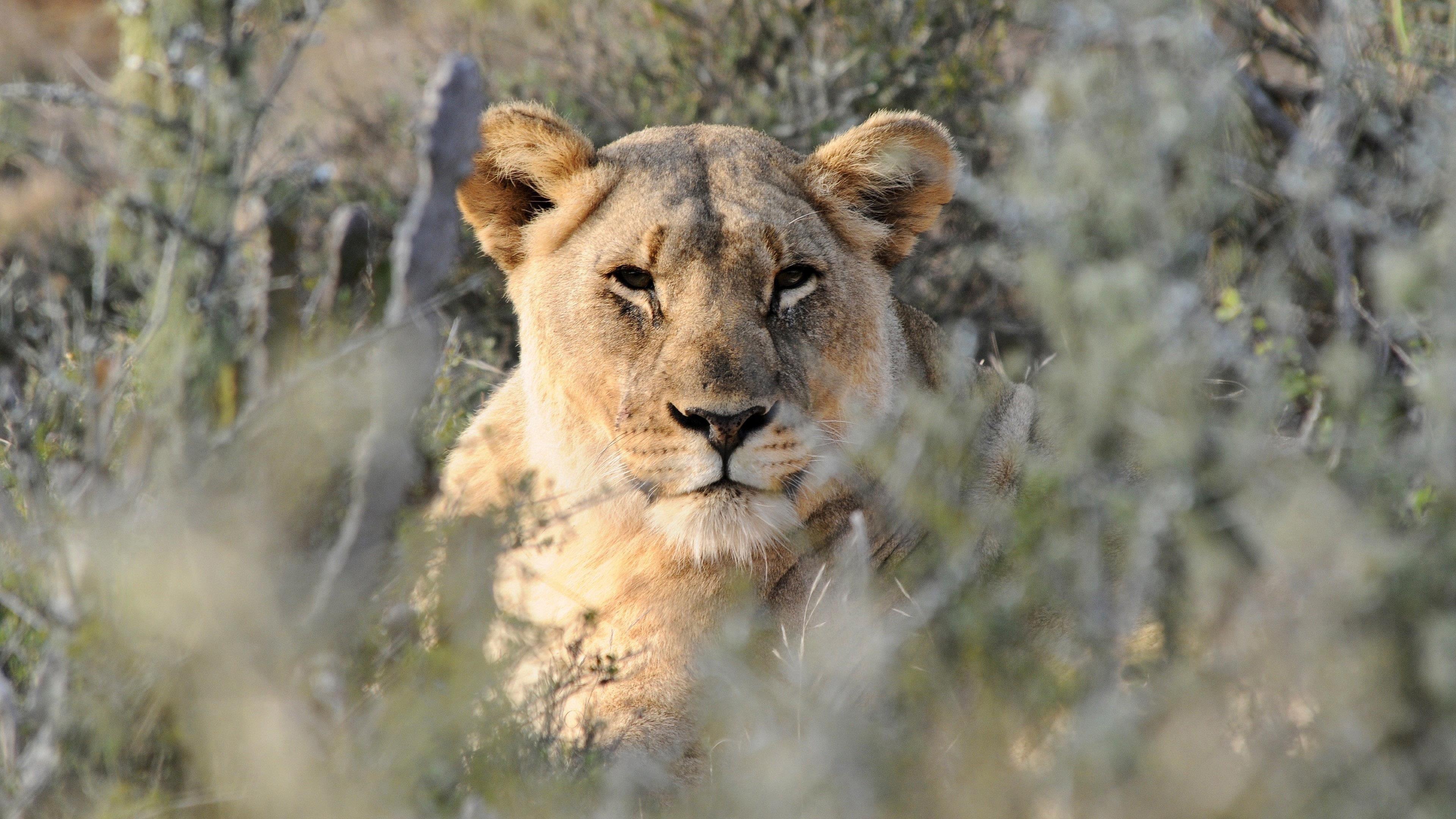 Животное Лев 1 животные обои скачать