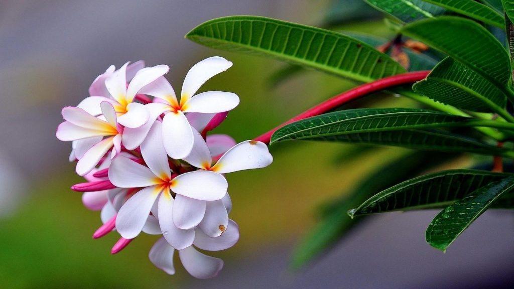 Плюмерия экзотическая капля свежесть острота цветов обои скачать
