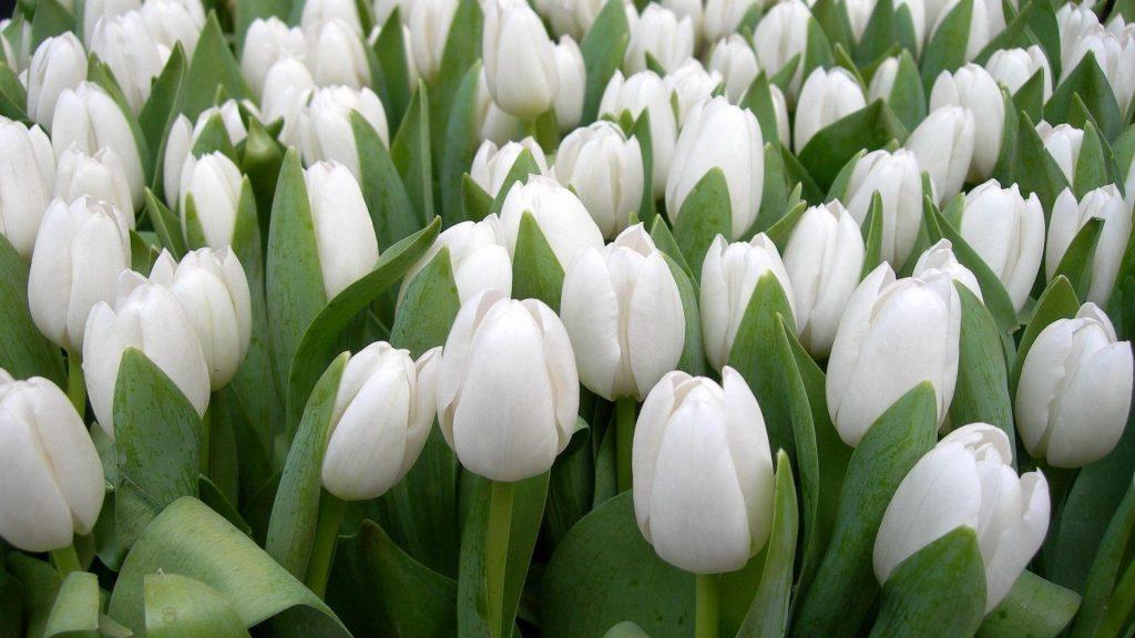 Тюльпаны цветы белая весенняя красота травы цветочные цветы обои скачать