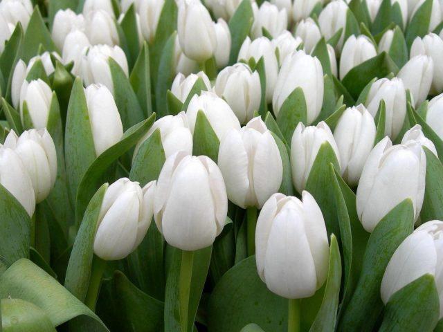 Тюльпаны цветы белая весенняя красота травы цветочные цветы