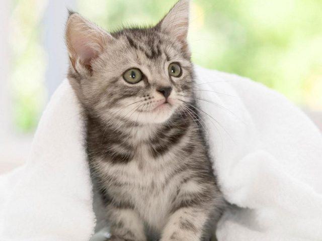 Котенок черно-белой кошки с белым полотенцем котенок