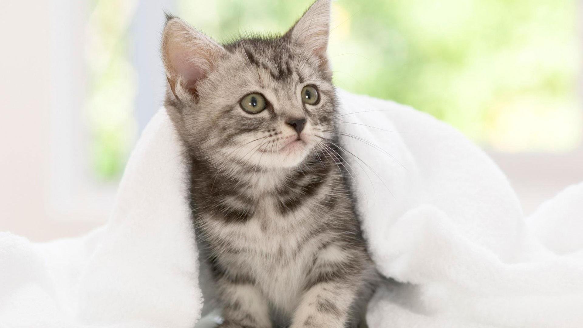 Котенок черно-белой кошки с белым полотенцем котенок обои скачать