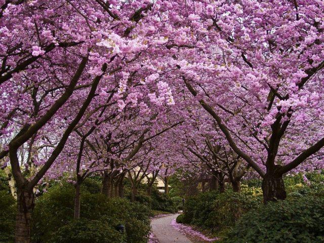 Тропинка между розовыми вишневыми деревьями цветами