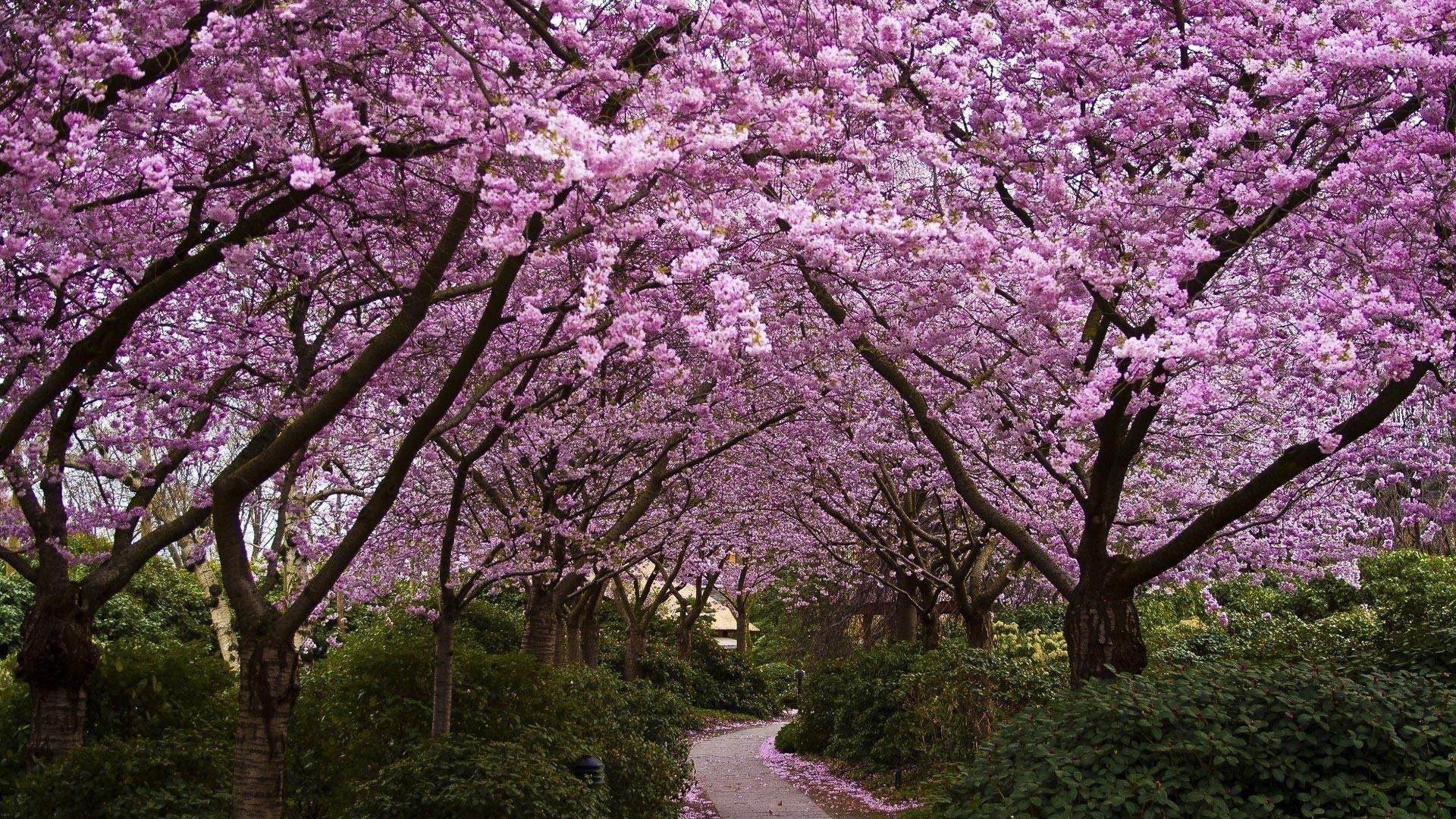 Тропинка между розовыми вишневыми деревьями цветами обои скачать