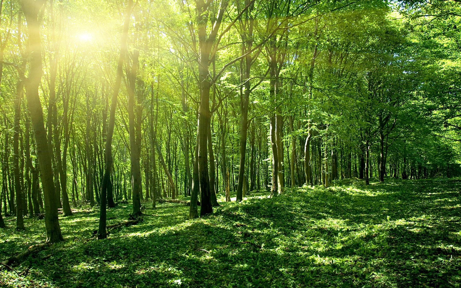 Солнце весной зеленый лес. обои скачать