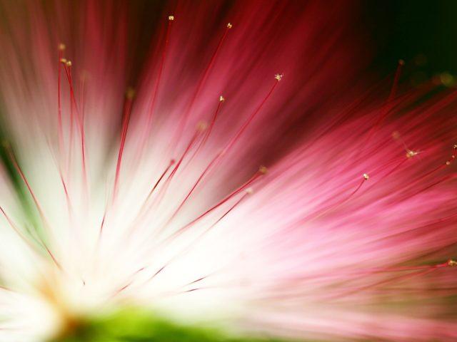 Эвкалипт цветок.