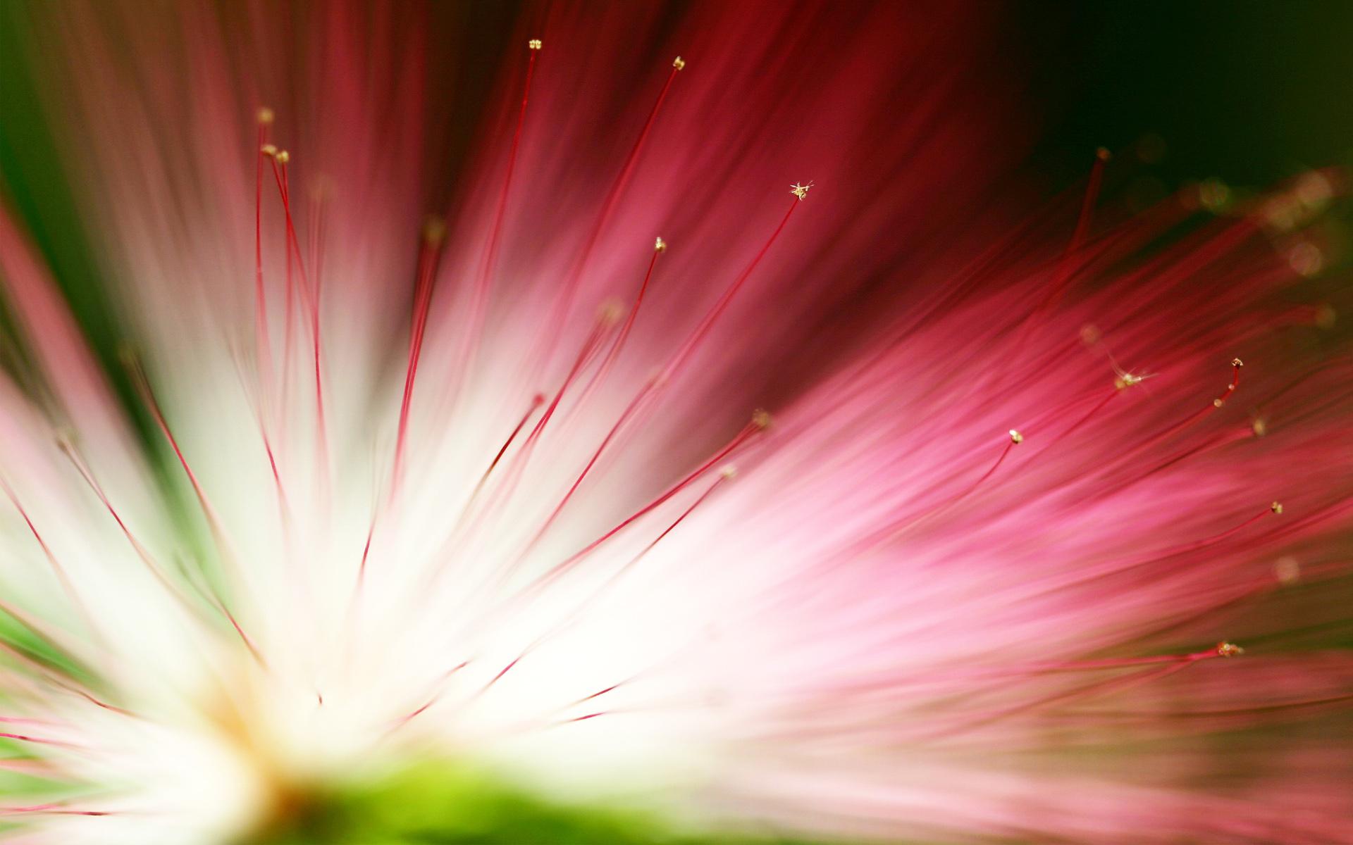 Эвкалипт цветок. обои скачать
