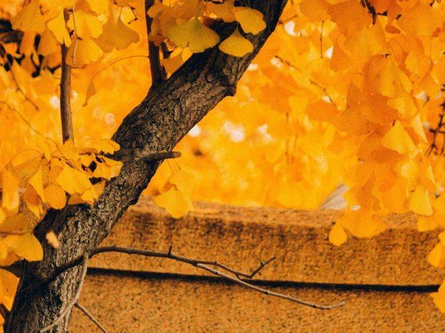 Желтое осеннее листовое дерево в размытом желтом фоне листьев природа