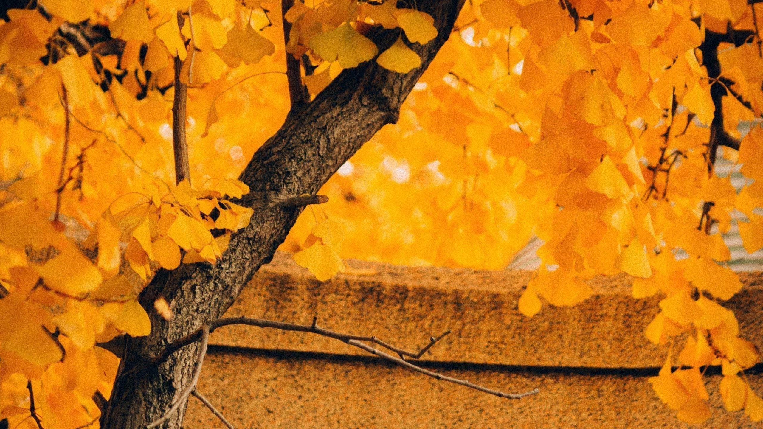 Желтое осеннее листовое дерево в размытом желтом фоне листьев природа обои скачать
