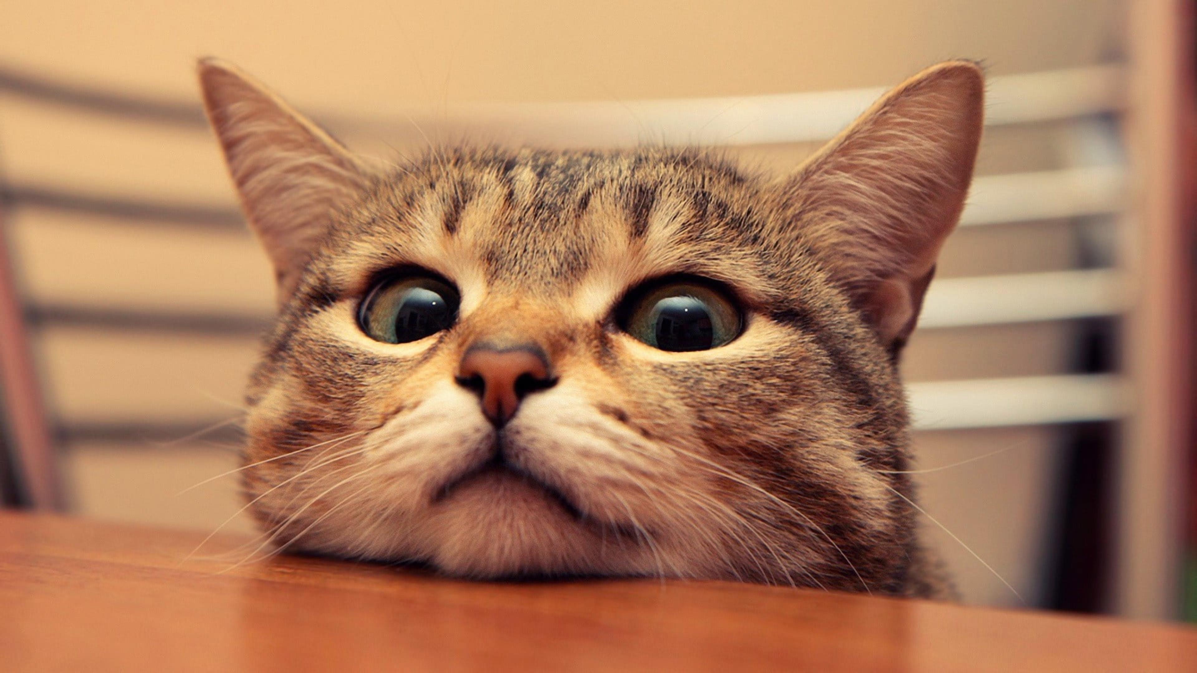 Коричневая полосатая кошка домашние животные домашние животные млекопитающее обои скачать
