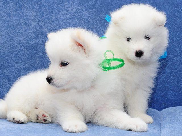 Два милых белых щенка находятся на синем диване на синем фоне с синими и зелеными лентами на шее животных