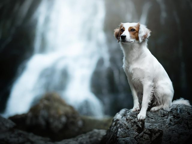 Бело коричневая собака сидит на скале в размытом фоне водопада собака