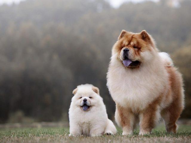 Большие коричнево-белые щенки чау-чау на фоне размытых деревьев собака