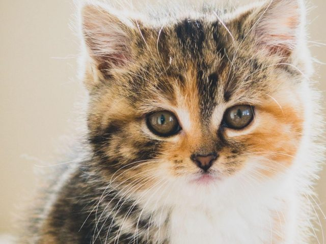Крупным планом вид коричневого белого черного котенка кошки с пристальным взглядом котенка