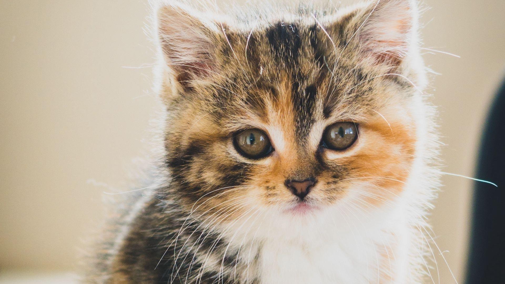 Крупным планом вид коричневого белого черного котенка кошки с пристальным взглядом котенка обои скачать