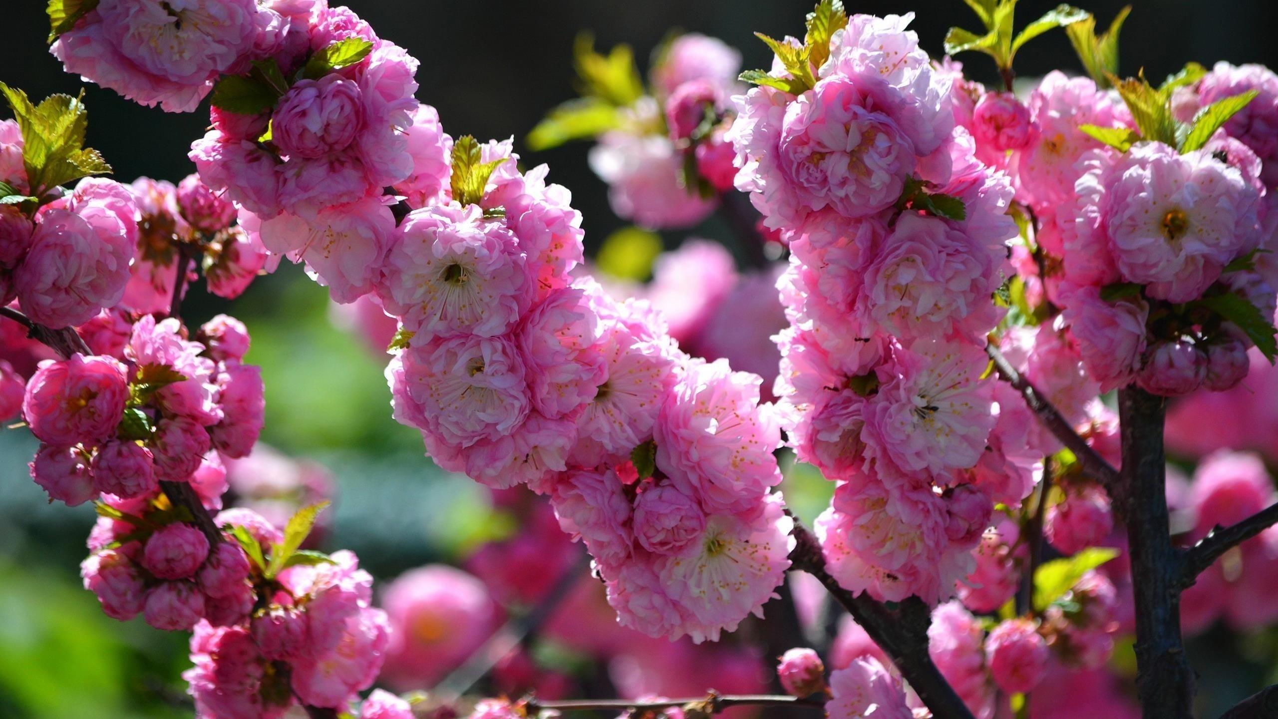 Красивые розовые цветы вишни цветут ветви деревьев синий фон цветы обои скачать