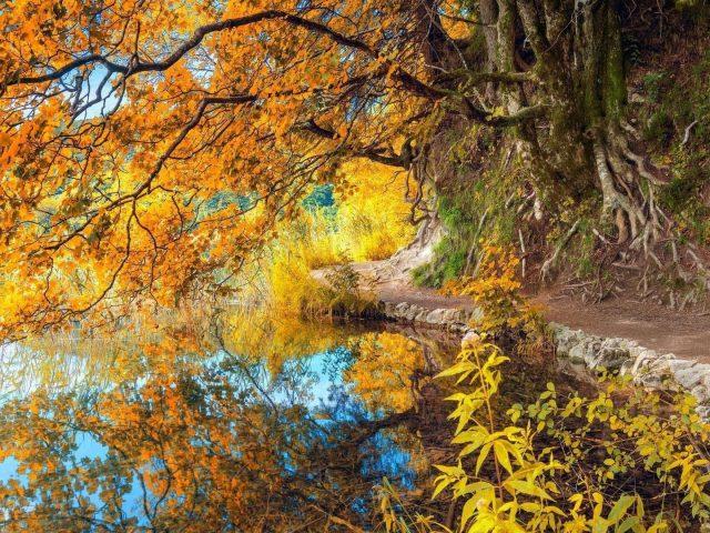 Желтое осеннее дерево с отражением на озере природа