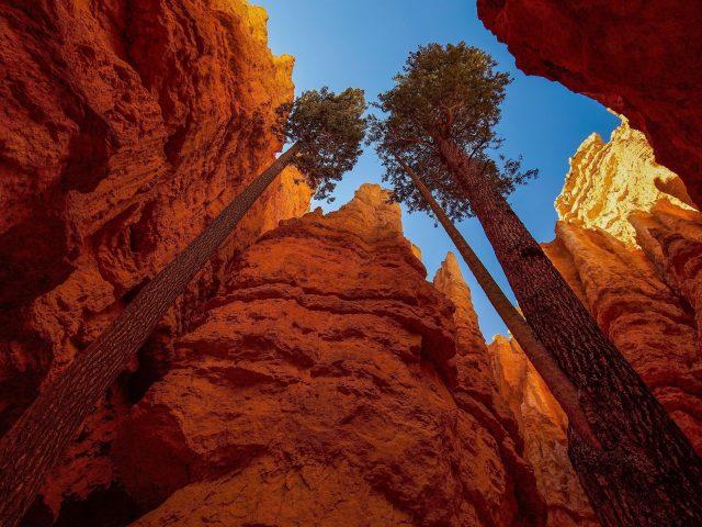Высокие деревья между Национальным парком Брайс Каньон природа