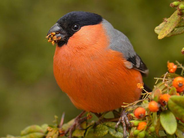 Оранжевый пепел черный снегирь птица сидит на ветке дерева ест ягоды на зеленом фоне животных