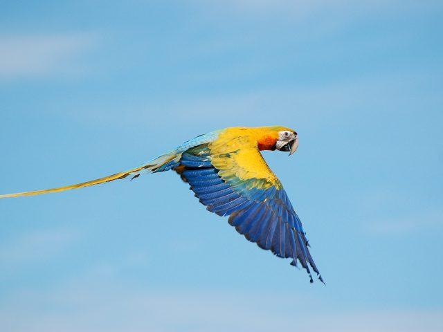 True flying macaws.