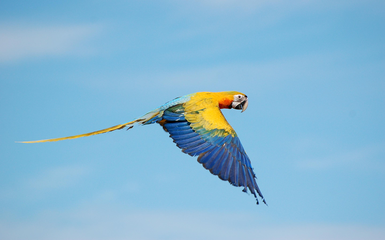 True flying macaws. обои скачать
